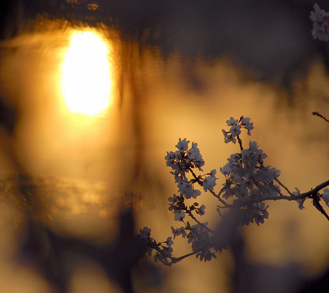 twilight sakura
