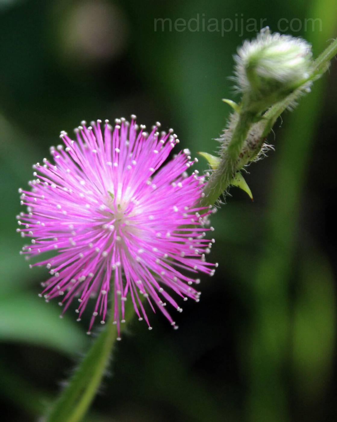 'Mimosa Pudica, bunga putri malu yang indah'. (Fotografer: Dita Andriani)