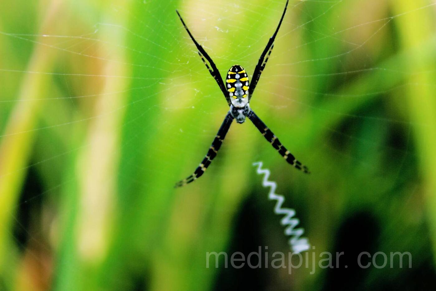 'Laba-laba dengan jaring-jaringnya'. (Fotografer: Dita Andriani)